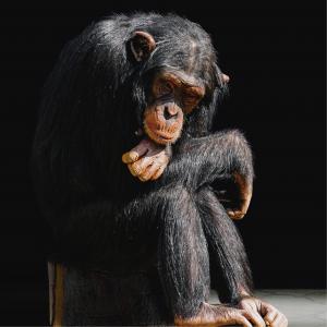 Foto de un chimpancé como carátula de un capítulo de A Ciencia Cierta: Evolución mitos y verdades