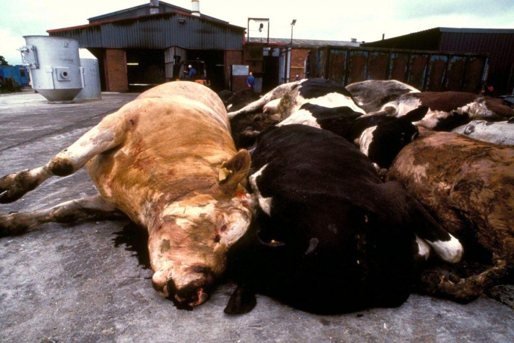 Cadáveres de vacas enfermas de encefalopatía espongiforme