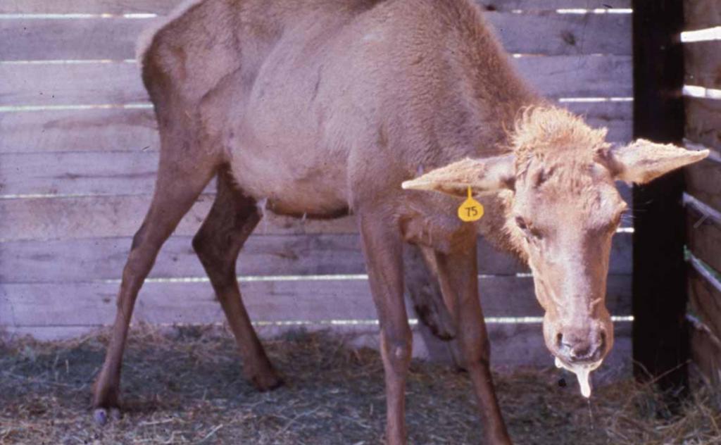 Uapiti o ciervo canadiense enfermo de caquexia crónica