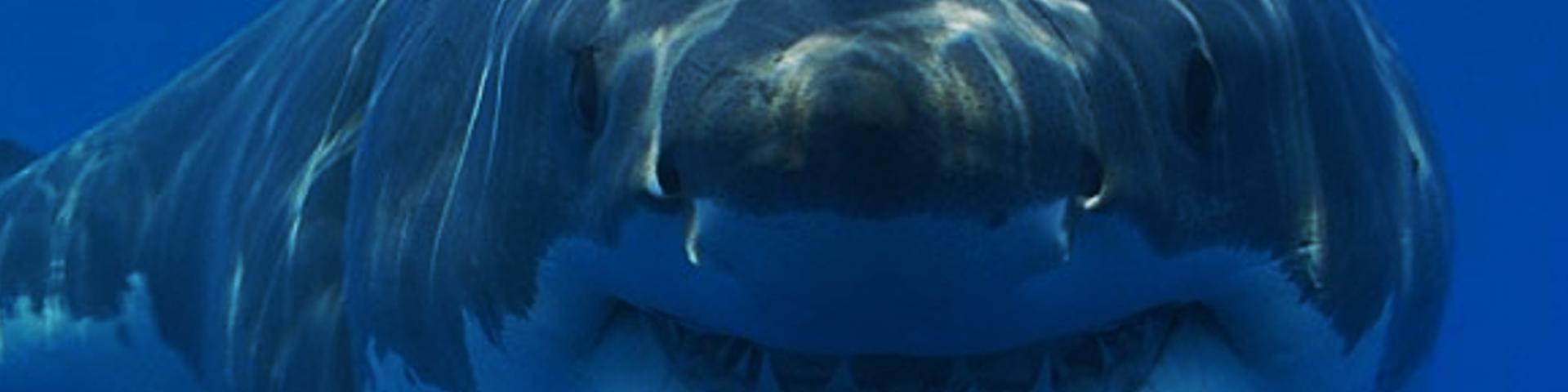 Gran tiburón blanco en las costas de Sudáfrica