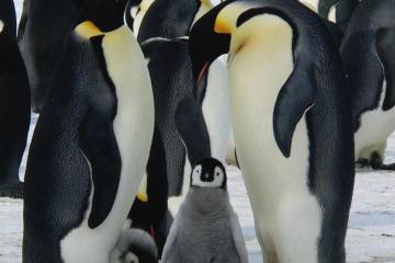 Pareja de pinguinos emperador con sus polluelos como portada de: Los pinguinos son los padres