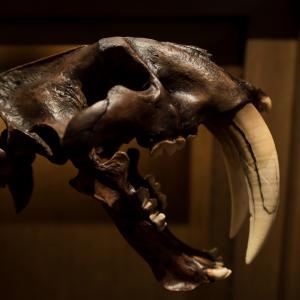 Cráneo de un Smilodon visto de perfil como portada del artículo La unión de américa El gran intercambio americano