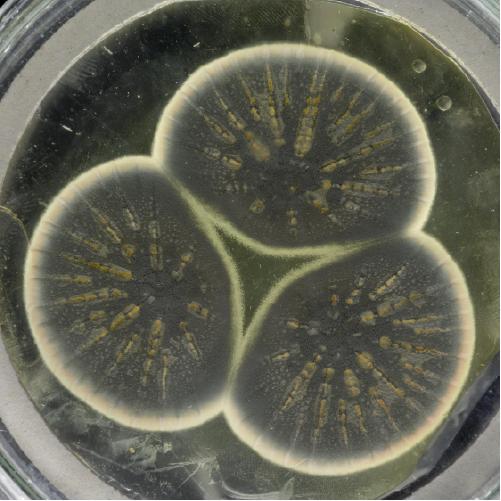 Cultivo de Penicillium rubens del Centro Internacional de Agricultura y Biociencias como portada del episodio de A Ciencia Cierta: La verdad sobre los antibióticos.